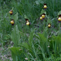 IMG_4055 Cypripedium calceolus_DxO (Copier)