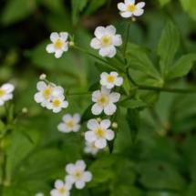 IMG_4112 Ranunculus aconitifolius_DxO (Copier)