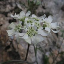 Orlaya_grandiflora