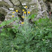 Hieracium villosum © g. Rivet