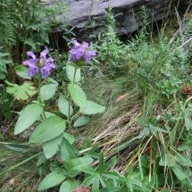 Prunella vulgaris © g. Rivet