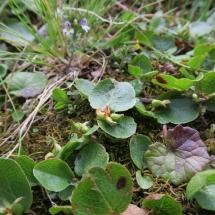 Salix herbacea © g. Rivet