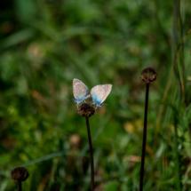 Accouplement d'Azurés des Anthyllides, Cyaniris semiargus, (Famille des Lycénidés), ©Photo Alain Benard