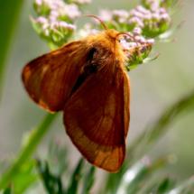 L'Alpine, Malacosoma alpicola (Famille Lasiocampidae), femelle, ©Photo Alain Benard