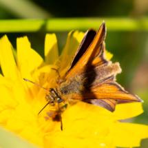 Hespérie du dactyle ou Hespérie de la Houque, Thymelicus lineola ou Thymelicus sylvestris (famille Hespéridés), ©Photo Alain Benard