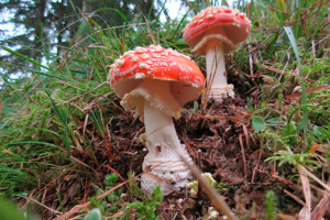 Amanita muscaria, photo Didier Hamerel