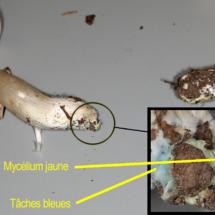 Tricholoma orirubens, caractérisé par des tâches bleues au pied et un mycélium jaune, ©Photo Alain Benard
