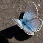 Mâle de Lysandra coridon, Argus bleu-nacré (L'), Plateau de Solaison, ©Photo Alain Benard