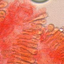 Hygrophoropsis agathosmus (Hygrophore à bonne odeur) Revêtement hyméniforme ©Photo Alain millet