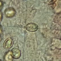 Crepidotus lundellii, Spores