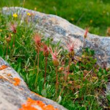 Dryas octopetala ; Dryade à huit pétales, Herbe à plumets ; Stage FMBDS Pralognan, Moriond, 29 juin 2018, ©Photo Claudine Chereze