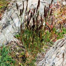 Koeleria cenisia ; Koelérie du mont CenisKoeleria cenisia ; Koelérie du mont Cenis ; Stage FMBDS Pralognan, Moriond, 29 juin 2018, ©Photo Claudine Chereze