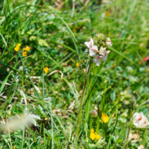 Pedicularis x delphinata ; Pédiculaire