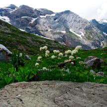 Thalictrum aquilegiifolium ; Pigamon à feuilles d'ancolie, Colombine plumeuse ; Stage FMBDS Pralognan, Moriond, 29 juin 2018, ©Photo Claudine Chereze
