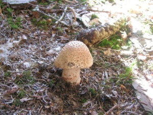 Amanita rubescens ; Amanite rougissante, Oronge vineuse, ©Photo D. Hamerel