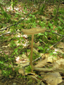 Xerula (=Oudemansiella) radicata, Mucicule radicante, Bois de Sévrier bas du Semnoz, ©Photo Didier Hamerel