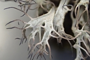 Anaptychia ciliaris, sur frêne, Annecy Les Puiseaux, ©Photo Alain Benard