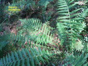 Oreopteris limbosperma ; Polystic des montagnes, Fougère des montagnes, Oreoptéris à sores marginaux ; Sentier botanique du Chevran (Cluses, 74), ©Photo Gérard Rivet