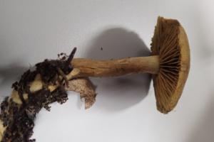 Cortinarius venetus, Cortinaire verdâtre