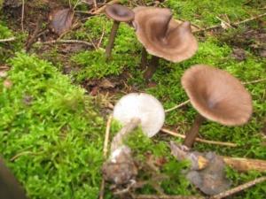 Pseudoclitocybe cyathiformis, Clitocybe en coupe, Bois de Sévrier (74) bas du Semnoz, ©Photo Didier Hamerel