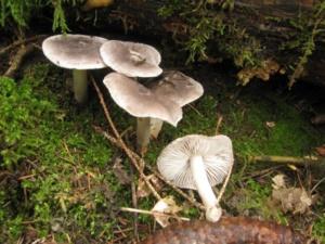 Tricholoma argyraceum ; Tricholome grave, Tricholome farineux jaunissant, Tricholome jaunissant ; Bois de Sévrier (74) bas du Semnoz, ©Photo Didier Hamerel