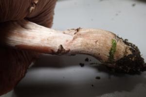 Agaricus silvaticus ; Psalliote des bois, Agaric des forêts, Psalliote des forêts ; nord du chemin du Fresney (Cluses, 74), ©Photo Alain Benard