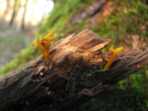 Calocera furcata, Calocère fourchée, Bois de Sévrier (74) bas du Semnoz, ©Photo Didier Hamerel