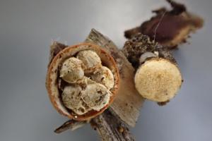 Crucibulum laeve, Crucibule lisse, ©Photo Alain Benard