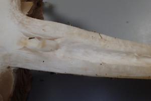 Hebeloma sinapizans ; Hébélome échaudé, Hébélome brûlant ; Présence d'une mèche pendante, dans la partie creuse et au sommet du pied, Plateau d'Agy (Saint-Sigismond, 74), ©Photo Alain Benard