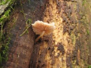 Mycena meliigena, Mycène corticole brune, Bois de Sévrier bas du Semnoz, ©Photo Didier Hamerel