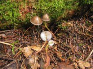 Mycena viscosa ; Mycène des fougères, Mycène à gaine visqueuse ; Bois de Sévrier bas du Semnoz, ©Photo Didier Hamerel