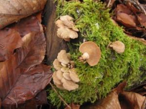 Panellus stipticus, Panelle astringente, Bois de Sévrier bas du Semnoz, ©Photo Didier Hamerel