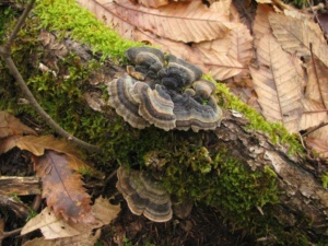 Trametes versicolor, Tramète versicolore, Collybie à odeur rance, Bois de Sévrier bas du Semnoz, ©Photo Didier Hamerel