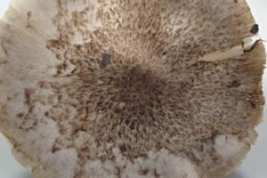 Tricholoma scalpturatum, Tricholome gravé, nord du chemin du Fresney (Cluses, 74), ©Photo Alain Benard