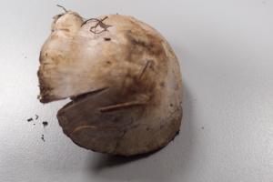 Cortinarius camphoratus ; Cortinaire camphré, Cortinaire à odeur de corne brûlée ; Bois de Sales (Filière (près Thorens-Glières, 74)), ©Photo Alain Benard