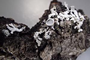 Physconia distorta sur tremble, les Puisots Le Semnoz (Annecy,74), ©Photo Alain Benard