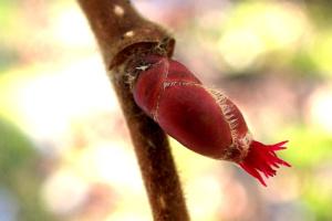 Corylus avellana en fleur (15/02/2020) ; Noisetier, Avelinier; La Côte-d'Hyot (Bonneville, 74), ©Photo Alain Benard