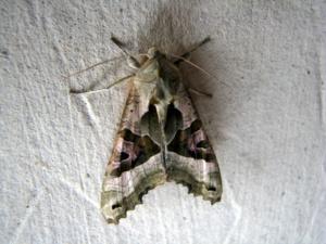 Phlogophora meticulosa, Méticuleuse, Sévrier (74), ©Didier Hamerel