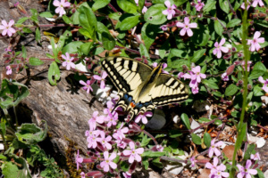 Papilio machaon, Machaon, Mont Baron - Mont Veyrier (Les Clefs, 74), ©Photo Aurélie Hamerel