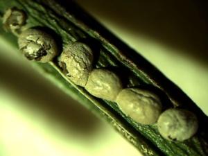 Lepidoderma aggregatum (x15), Col de Pierre Carrée (Arâches-la-Frasse, 74), ©Photo Hacène Seraoui