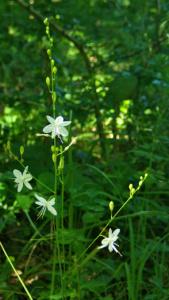 Anthericum ramosum ; Phalangère rameuse, Anthéricum ramifié ; Bois des Fournets (Amancy, 74), ©Photo Olivier Chabanon