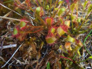Drosera longifolia ; Rossolis à feuilles longues, Droséra à longues feuilles ; Bois des Fournets (Amancy, 74), ©Photo Olivier Chabanon