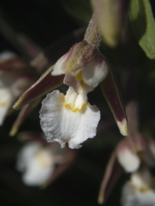 Epipactis palustris, Épipactis des marais, Bois des Fournets (Amancy, 74), ©Photo Olivier Chabanon