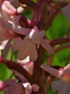 Gymnadenia conopsea ; Gymnadénie moucheron, Orchis moucheron, Orchis moustique ; Bois des Fournets (Amancy, 74), ©Photo Olivier Chabanon