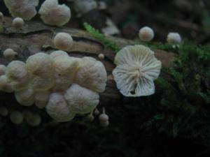 Marasmiellus candidus, Marasme blanc, Bois de Sevrier Bas Semnoz (Sevrier, 74), ©Photo Didier Hamerel