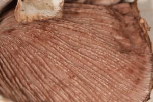 Agaricus silvaticus ; Psalliote des bois, Agaric des forêts, Psalliote des forêts ; Pré Jourdan (Saint-Laurent, 74), ©Photo Alain Benard