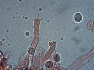 Spores et basides (bisporiques) de Clavulina coralloides, Clavaire crêtée, Pré Jourdan (Saint-Laurent, 74), ©Photo Alain Benard