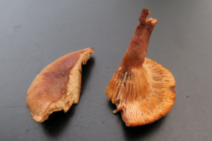Lactarius fulvissimus, Lactaire fauve, Petit Salève (Monnetier-Mornex, 74), ©Photo Gérard Rivet