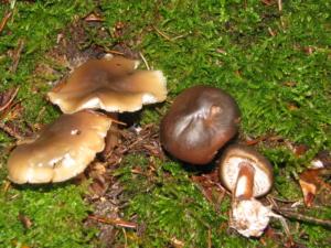 Collybia butyracea, Collybie beurrée, Bois de Sevrier Bas Semnoz (Sevrier, 74), ©Photo Didier Hamerel