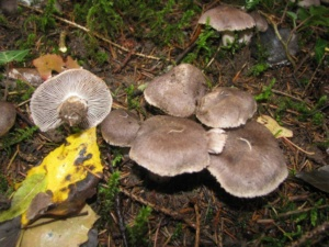 Tricholoma terreum ; Tricholome terreux, Petit-gris ; Bois de Sevrier Bas Semnoz (Sevrier, 74), ©Photo Didier Hamerel